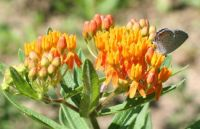 Butterfly Weed with Eastern Tailed Blue
