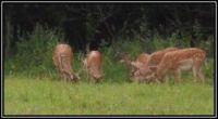 Dančí skupina na pastvě...  Fallow deer group on pasture ...