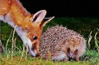 RED FOX AND HEDGEHOG