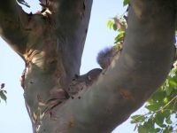 part 2 - R. Acer Jr. - ready - waiting for the buzzer -  in the crook of Eucalyptus torelliana tree