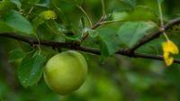 Apple Tree, on the Historic Mountain Farm, Blue Ridge Parkway in Virginia