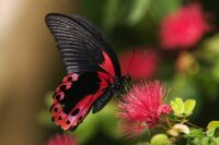 Rosy_Butterfly_by_secondclaw