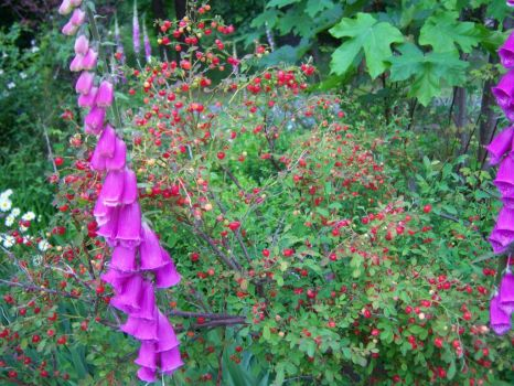 Huckleberries and foxgloves