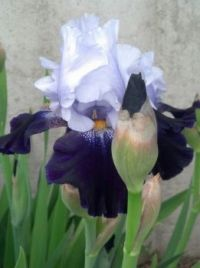 Iris in back yard June 2013