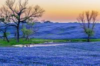 Bluebonnet Paradise near Ennis, Texas  Festival in April