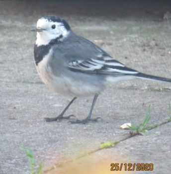 The Pied Wagtail came for it's Christmas Dinner.