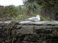 Seagull just resting - 24-12-13