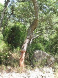 Cork oak tree, Sardinia, Italy