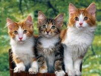 hd-wallpapers-kitten-wallpaper-desktop-1600x1200-wallpaper