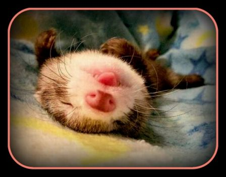 Finally, the weekend, don't wake me 'til it is over. . . P.S. I'm a baby ferret