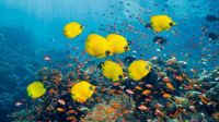 Golden Butterflyfish swimming with Lyretail Anthias or Goldies, Red Sea, Egypt