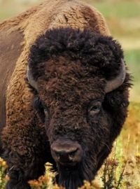 3  ~  'Tȟatȟáŋka' a.k.a Bison.