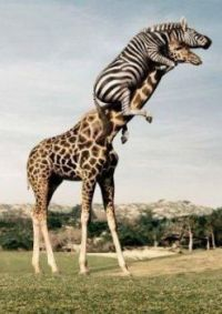 Vylekaná zebra