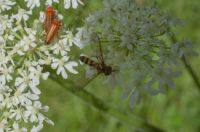 Hoverfly on Ground Elder (possibly)