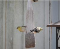 2 Goldfinches at Dad's Feeder !