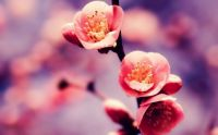 pink-flowers-cherry-blossom-bokeh