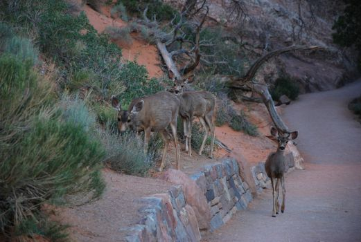 Mule Deer at Arches