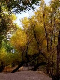 riverbank of cottonwood trees