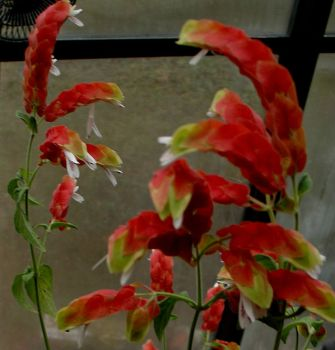 Shrimp Plant Blooms for Jana