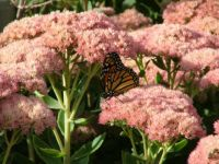 Colorado Butterfly Sedum