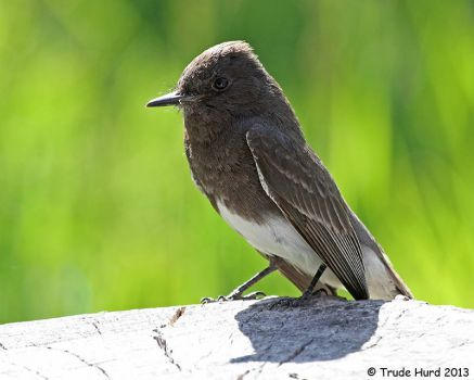 Backyard Black Phoebe