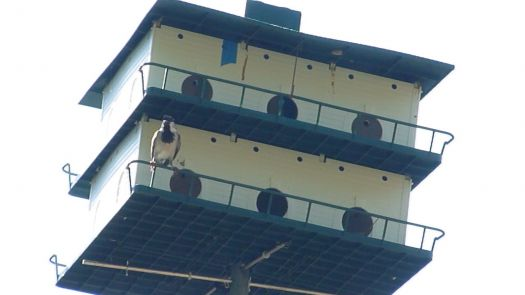 house sparrow at purple martin house