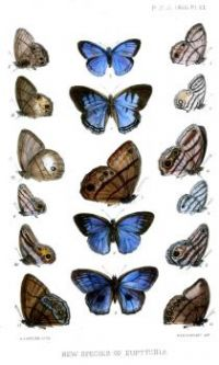 Euptychia2ButlerPZSL1866