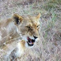 snarky lion