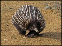 Echidna out for a walk
