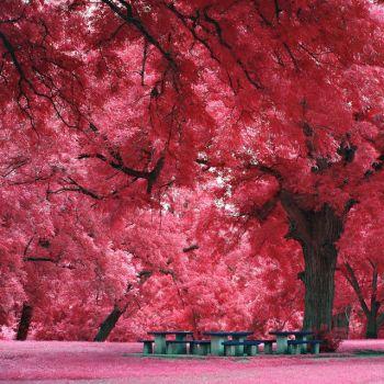 Japanese Maple Tree @ Austin, TX