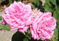 Růže...  Roses...
