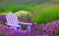 Lavender Fields in Sequim, WA