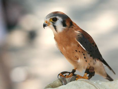 Trained kestrel