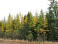 Tamarack in northern lower peninsula of MI