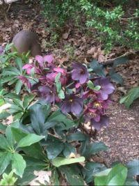 Hellebore flowers & more...