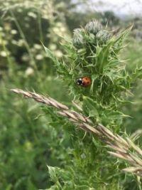 Lonely ladybird