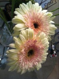 "Gorgeous ""  Watermelon "" Gerberas."