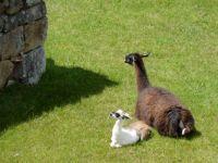 Llama & Baby at Machu Picchu