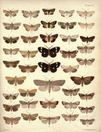 New_Zealand_Moths_and_Butterflies_(1898)_04