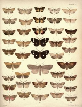 New_Zealand_Moths_and_Butterflies_(1898)_04