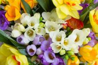 fresh spring freesias