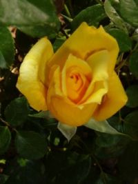 Yellow Rose of Tucson