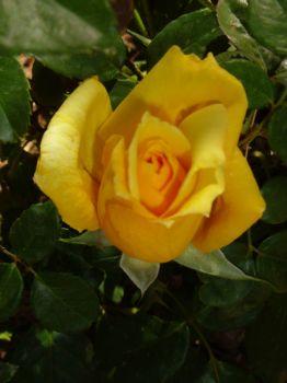 Yellow Rose of Tucson