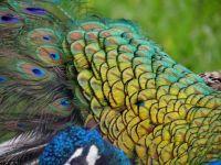 peacock#34 photo by Jill Amoni