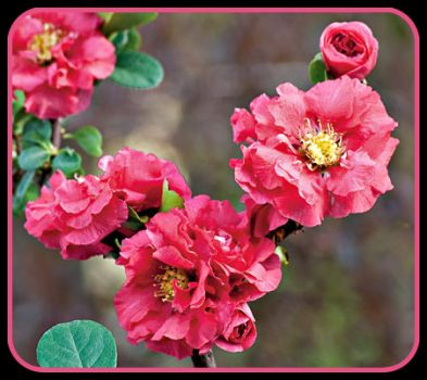 Pinknblack Petal Perfection -   Pink Storm Quince Blossoms