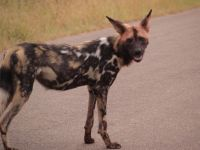 painted dog of Kruger