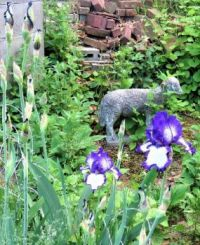 Bearded Iris & Lamb