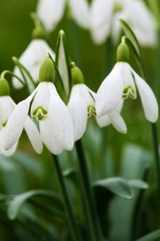 Snowdrops for Ank