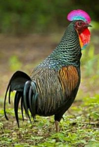greenjunglefowl...........