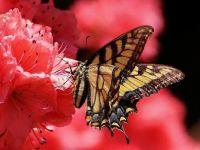 Butterfly on an azalea.